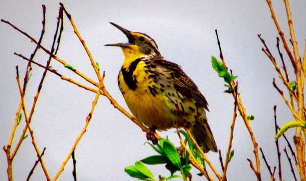 A Western Meadowlark sparks hope. With thanks to Daniel Roberts for this image from Pixabay.